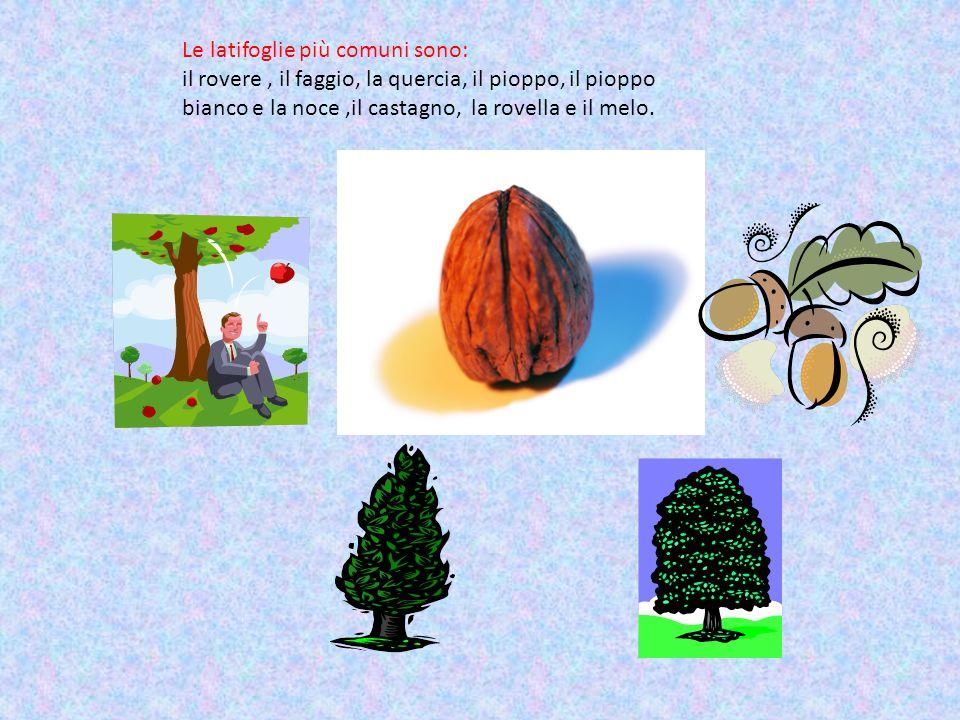 Le latifoglie più comuni sono: il rovere, il faggio, la quercia, il pioppo, il pioppo bianco e la noce,il castagno, la rovella e il melo.