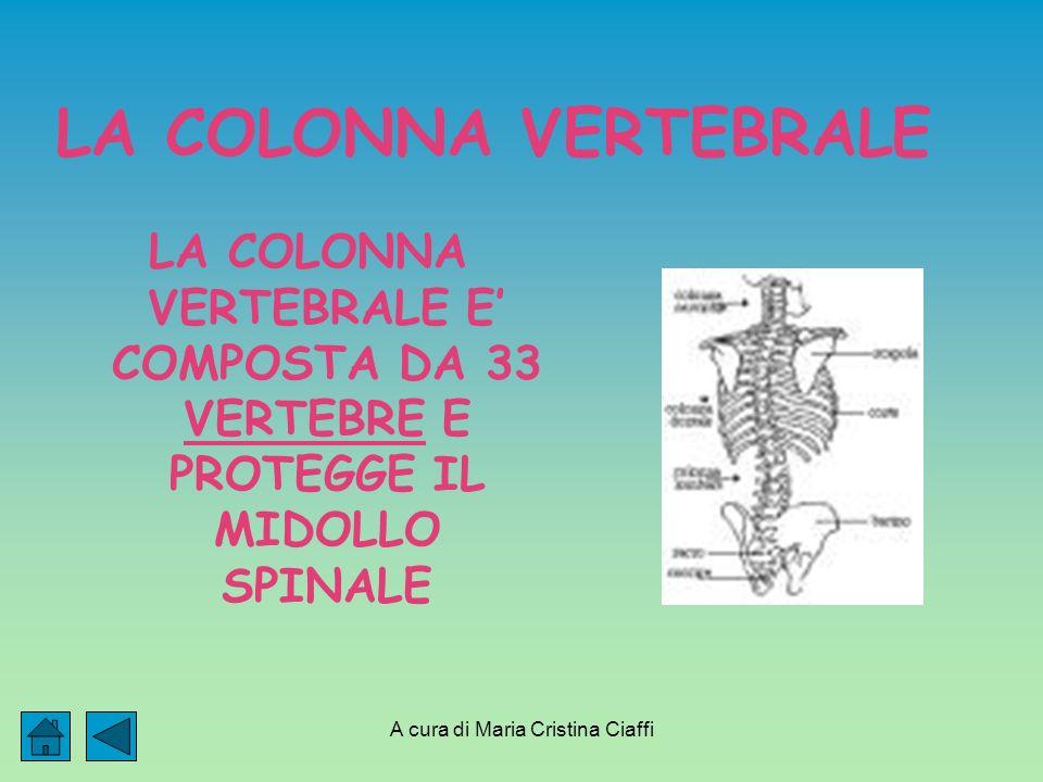 A cura di Maria Cristina Ciaffi LA COLONNA VERTEBRALE LA COLONNA VERTEBRALE E COMPOSTA DA 33 VERTEBRE E PROTEGGE IL MIDOLLO SPINALE