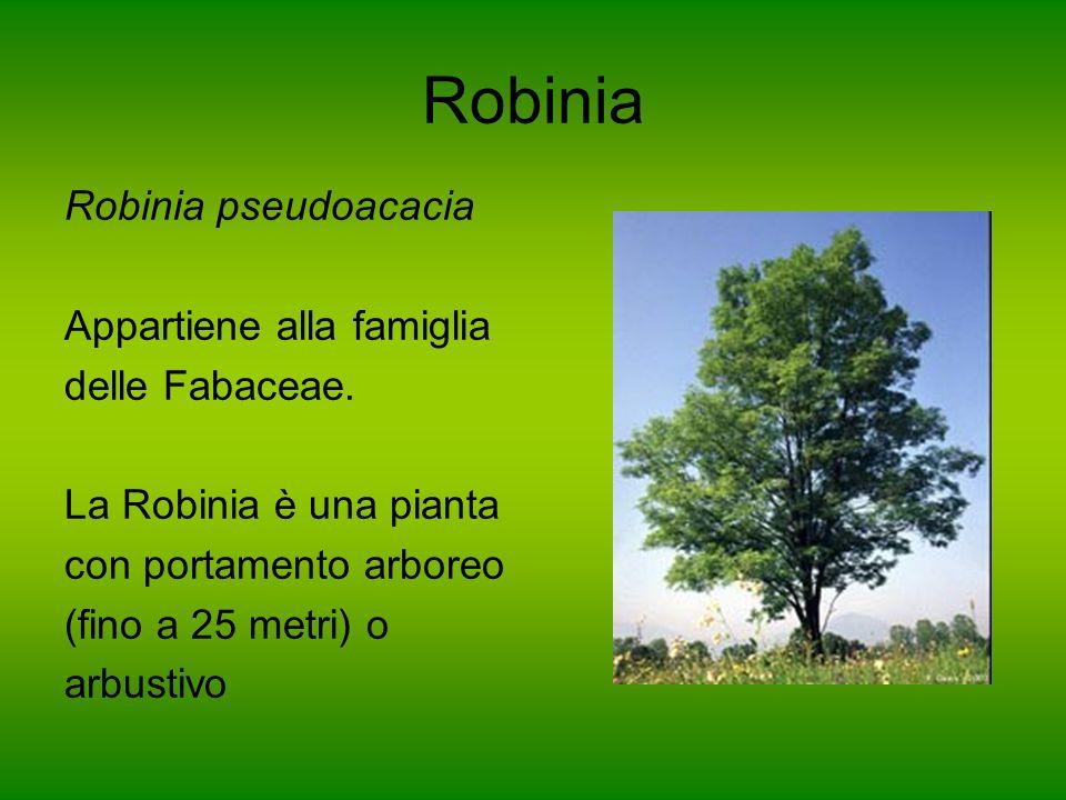 Robinia Robinia pseudoacacia Appartiene alla famiglia delle Fabaceae. La Robinia è una pianta con portamento arboreo (fino a 25 metri) o arbustivo
