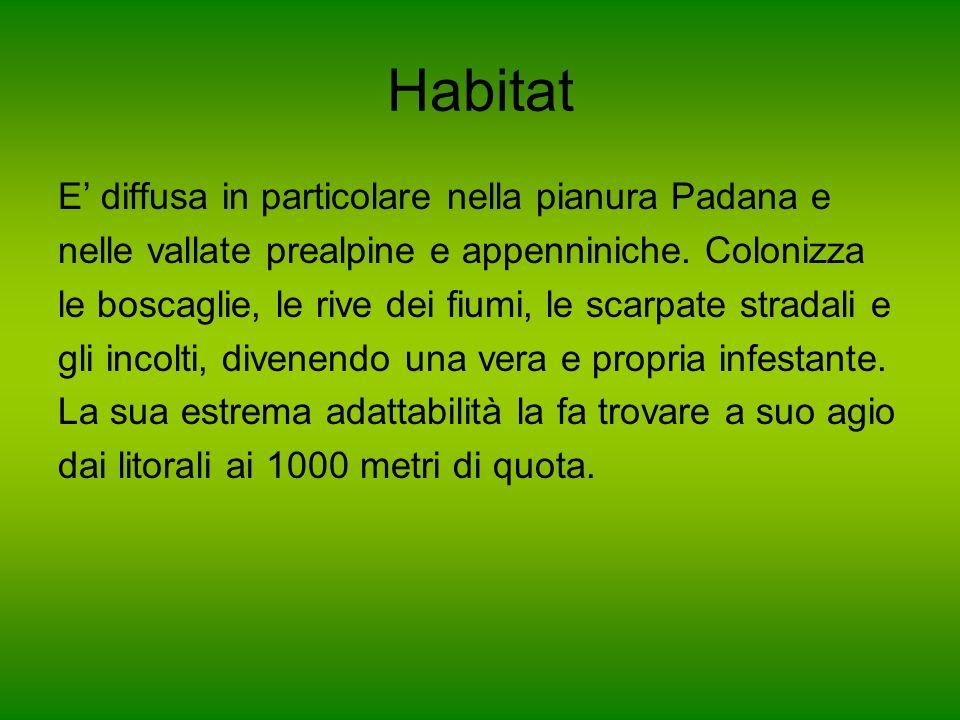 Habitat E diffusa in particolare nella pianura Padana e nelle vallate prealpine e appenniniche. Colonizza le boscaglie, le rive dei fiumi, le scarpate