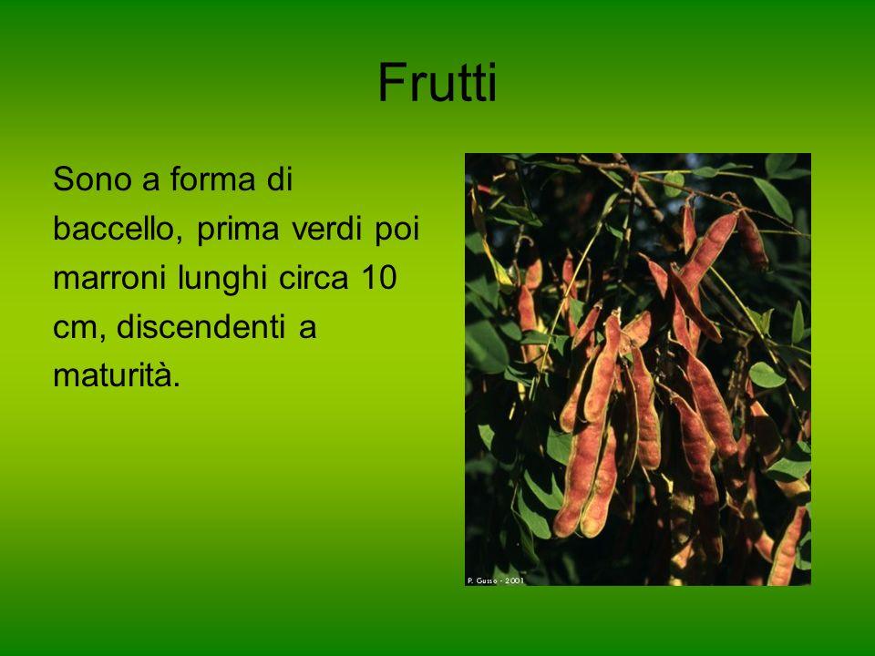 Frutti Sono a forma di baccello, prima verdi poi marroni lunghi circa 10 cm, discendenti a maturità.
