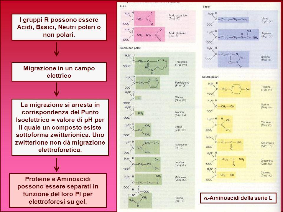 La migrazione si arresta in corrispondenza del Punto Isoelettrico = valore di pH per il quale un composto esiste sottoforma zwitterionica. Uno zwitter