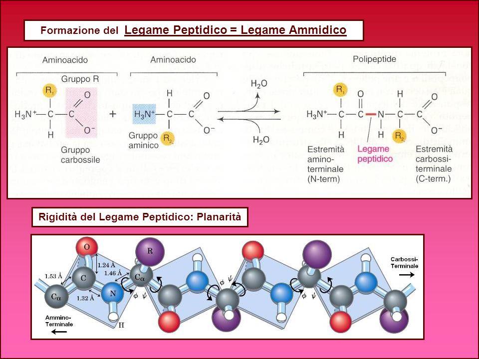 Formazione del Legame Peptidico = Legame Ammidico Rigidità del Legame Peptidico: Planarità