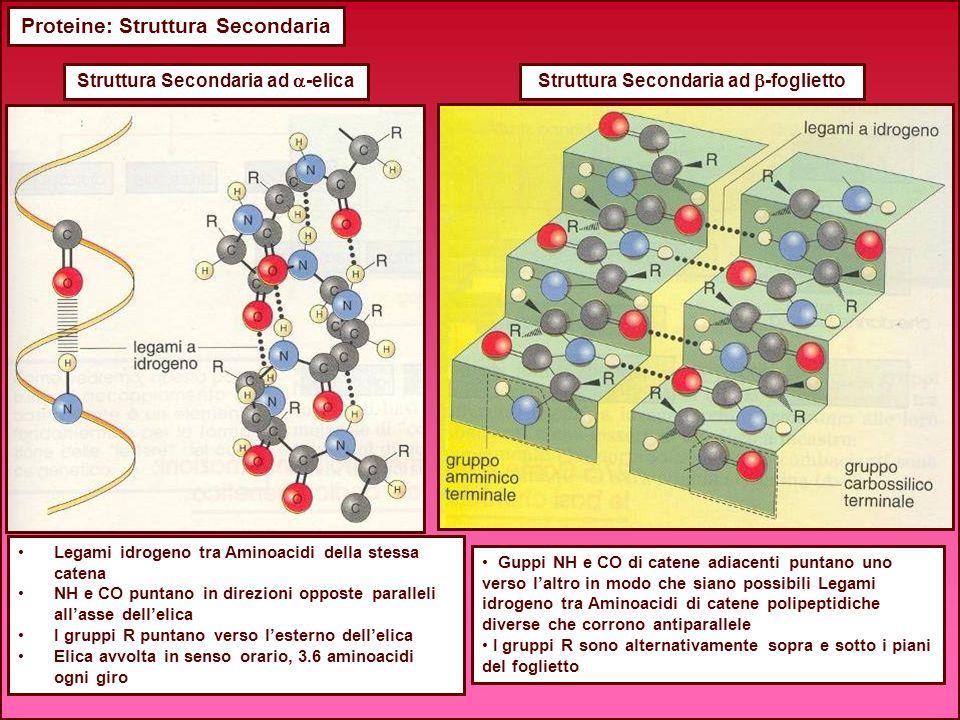 Proteine: Struttura Secondaria Legami idrogeno tra Aminoacidi della stessa catena NH e CO puntano in direzioni opposte paralleli allasse dellelica I g