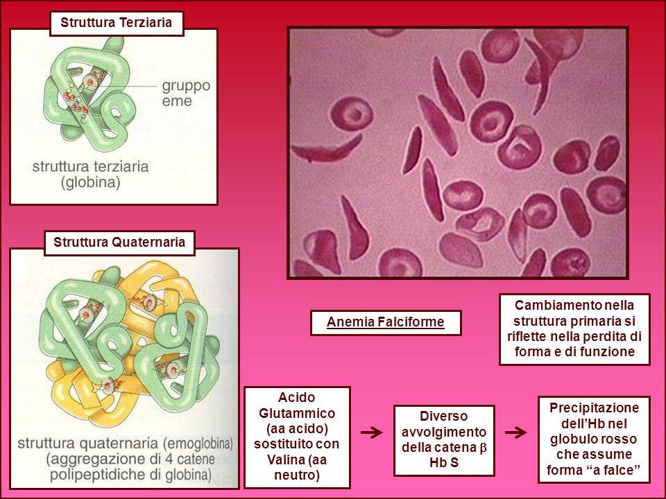 Struttura Terziaria Struttura Quaternaria Anemia Falciforme Acido Glutammico (aa acido) sostituito con Valina (aa neutro) Cambiamento nella struttura