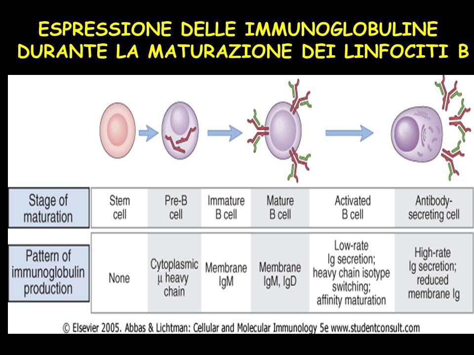 ESPRESSIONE DELLE IMMUNOGLOBULINE DURANTE LA MATURAZIONE DEI LINFOCITI B