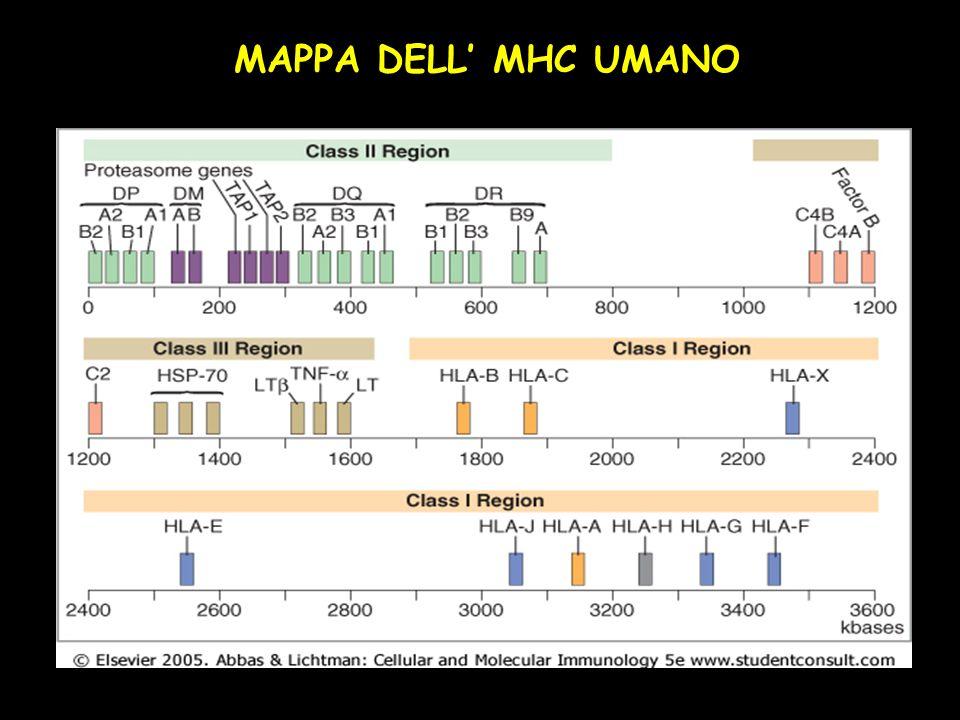 MAPPA DELL MHC UMANO