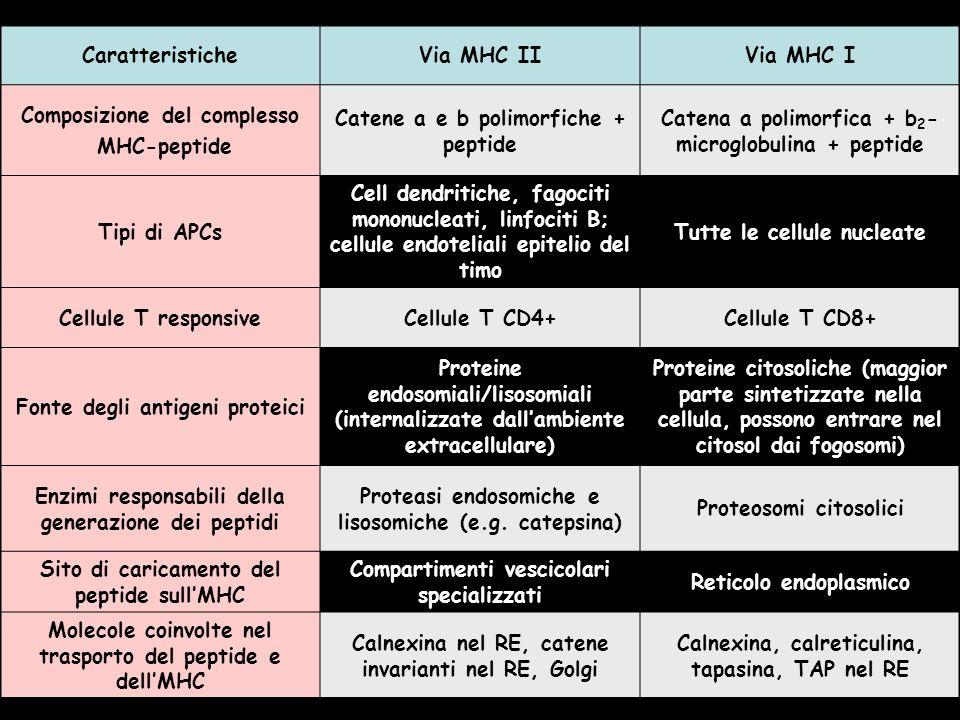 CaratteristicheVia MHC IIVia MHC I Composizione del complesso MHC-peptide Catene a e b polimorfiche + peptide Catena a polimorfica + b 2 - microglobulina + peptide Tipi di APCs Cell dendritiche, fagociti mononucleati, linfociti B; cellule endoteliali epitelio del timo Tutte le cellule nucleate Cellule T responsiveCellule T CD4+Cellule T CD8+ Fonte degli antigeni proteici Proteine endosomiali/lisosomiali (internalizzate dallambiente extracellulare) Proteine citosoliche (maggior parte sintetizzate nella cellula, possono entrare nel citosol dai fogosomi) Enzimi responsabili della generazione dei peptidi Proteasi endosomiche e lisosomiche (e.g.