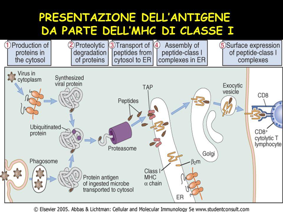 PRESENTAZIONE DELLANTIGENE DA PARTE DELLMHC DI CLASSE I