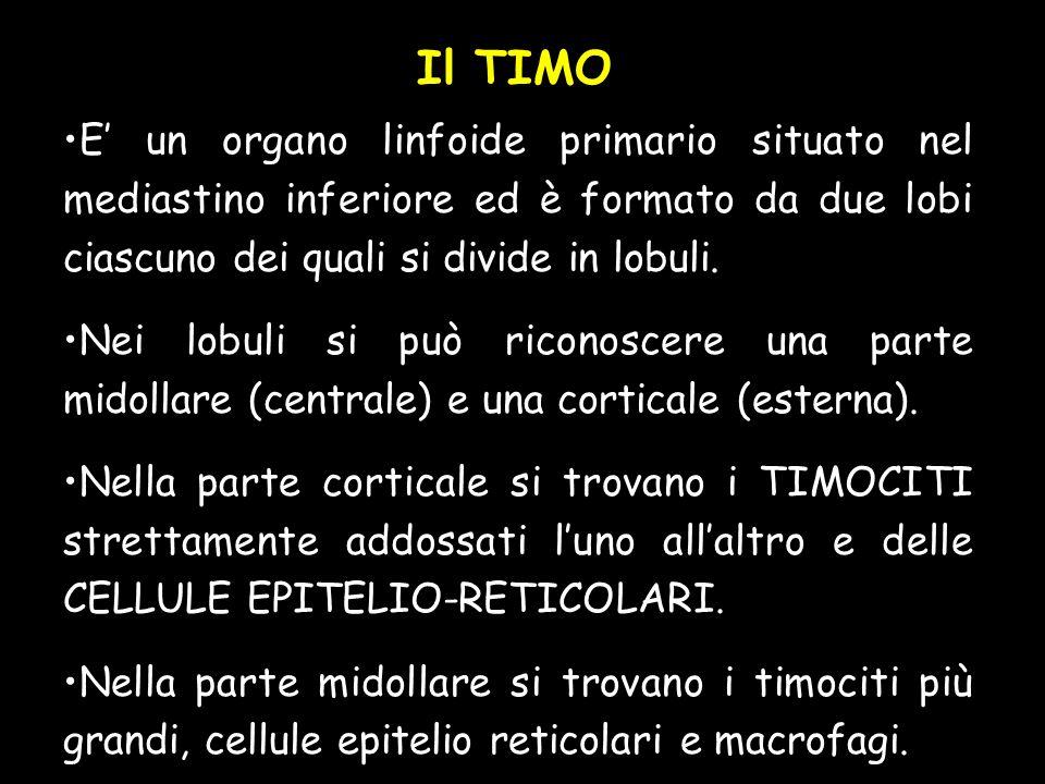 Il TIMO E un organo linfoide primario situato nel mediastino inferiore ed è formato da due lobi ciascuno dei quali si divide in lobuli.