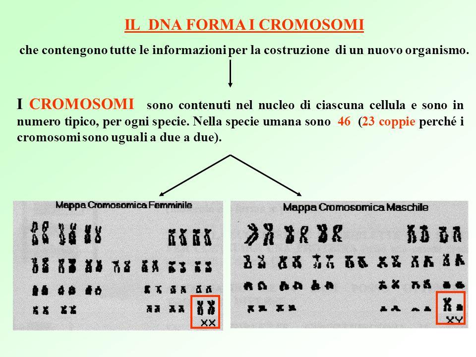 I CROMOSOMI sono contenuti nel nucleo di ciascuna cellula e sono in numero tipico, per ogni specie.