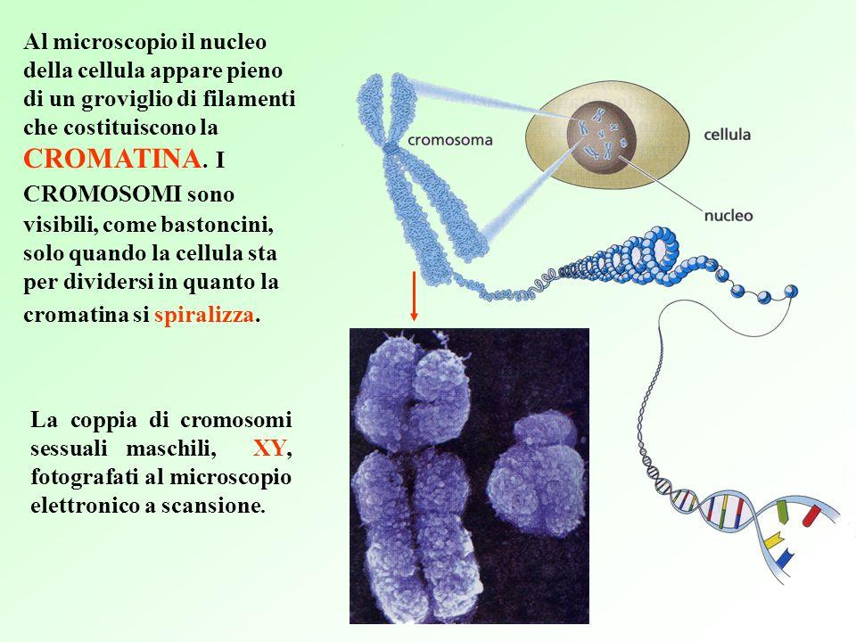 Al microscopio il nucleo della cellula appare pieno di un groviglio di filamenti che costituiscono la CROMATINA.