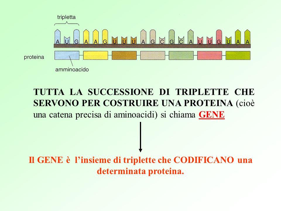 TUTTA LA SUCCESSIONE DI TRIPLETTE CHE SERVONO PER COSTRUIRE UNA PROTEINA (cioè una catena precisa di aminoacidi) si chiama GENE Il GENE è linsieme di triplette che CODIFICANO una determinata proteina.