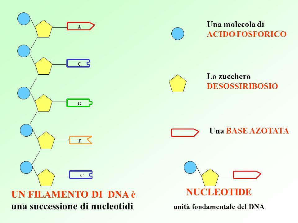 A T Una molecola di ACIDO FOSFORICO Lo zucchero DESOSSIRIBOSIO Una BASE AZOTATA NUCLEOTIDE unità fondamentale del DNA UN FILAMENTO DI DNA è una successione di nucleotidi C C G