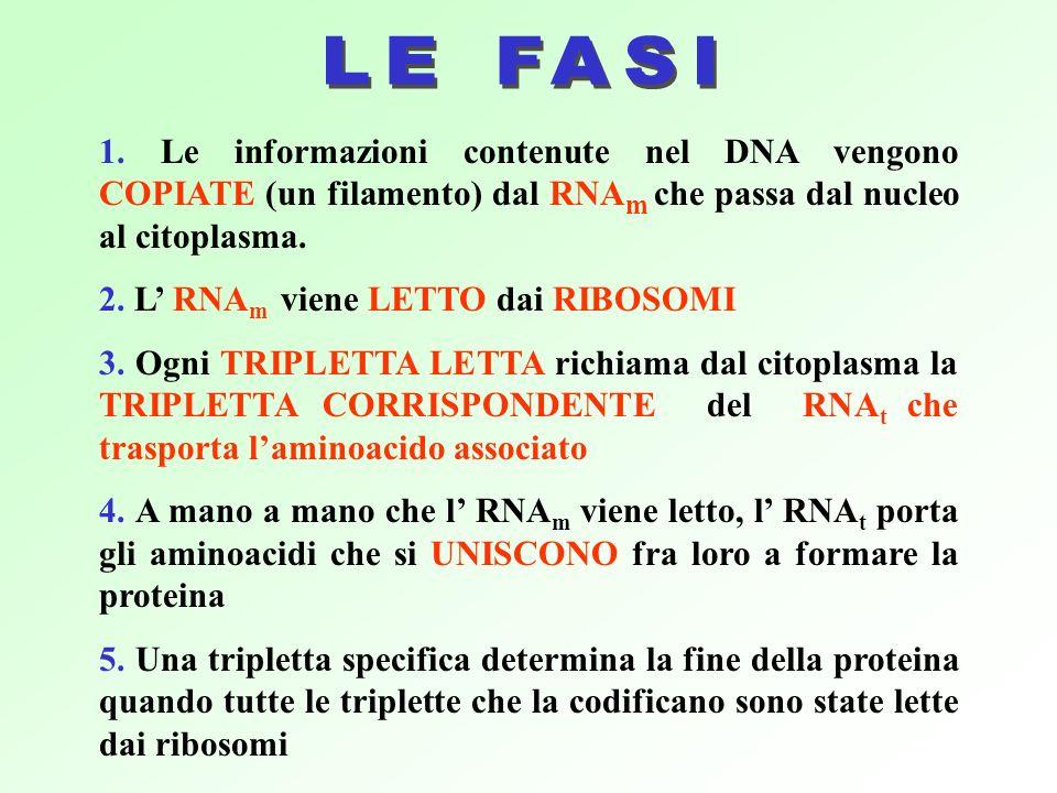 1. Le informazioni contenute nel DNA vengono COPIATE (un filamento) dal RNA m che passa dal nucleo al citoplasma. 2. L RNA m viene LETTO dai RIBOSOMI