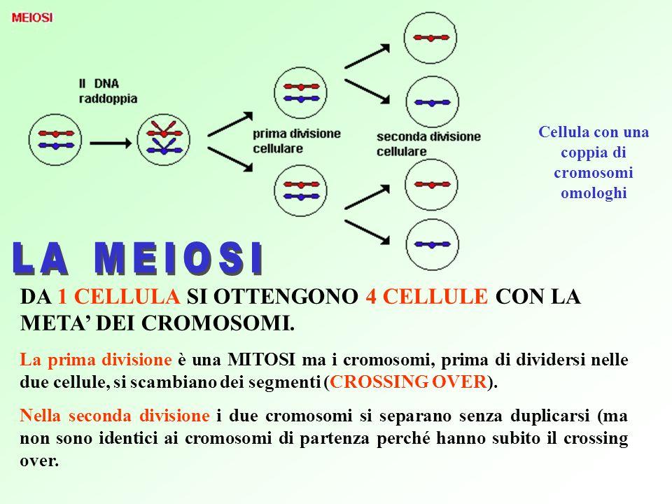 Cellula con una coppia di cromosomi omologhi DA 1 CELLULA SI OTTENGONO 4 CELLULE CON LA META DEI CROMOSOMI.
