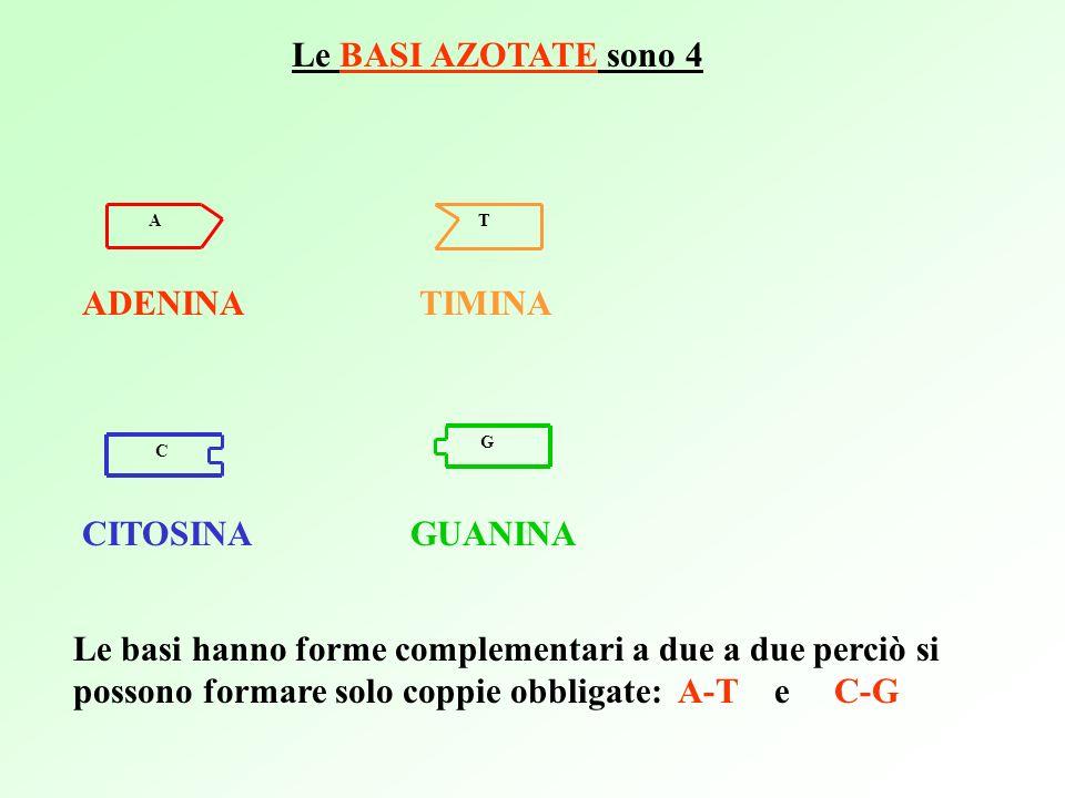 A T Le BASI AZOTATE sono 4 ADENINATIMINA CITOSINAGUANINA Le basi hanno forme complementari a due a due perciò si possono formare solo coppie obbligate: A-T e C-G C G