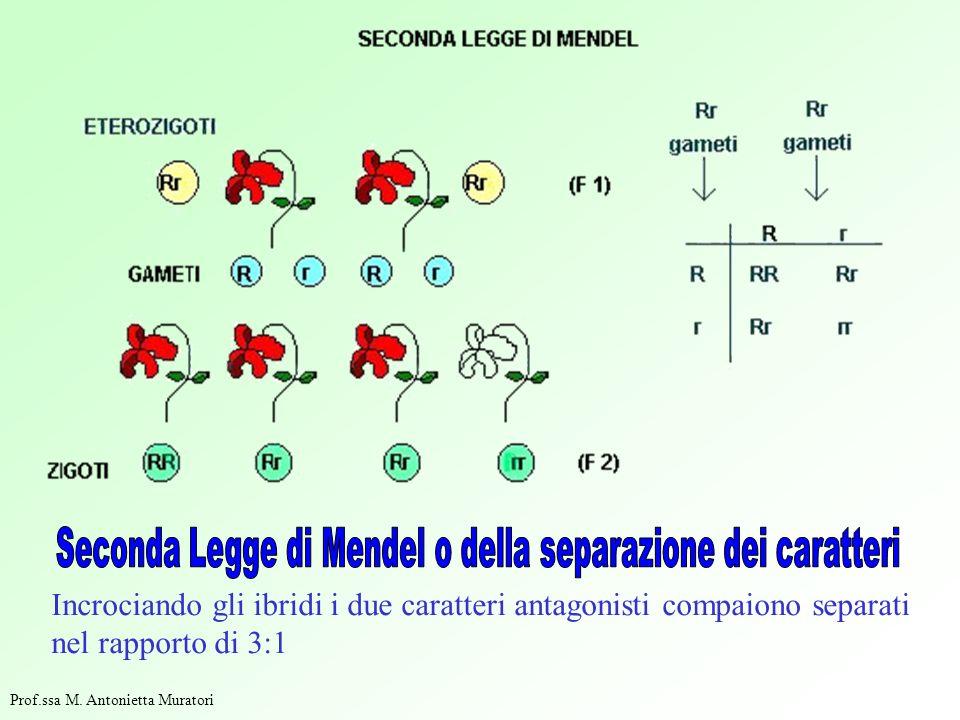 Incrociando gli ibridi i due caratteri antagonisti compaiono separati nel rapporto di 3:1 Prof.ssa M.