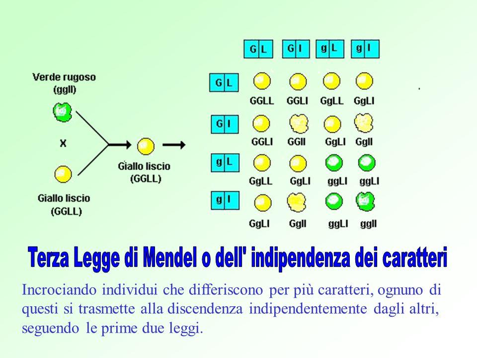 Incrociando individui che differiscono per più caratteri, ognuno di questi si trasmette alla discendenza indipendentemente dagli altri, seguendo le prime due leggi.