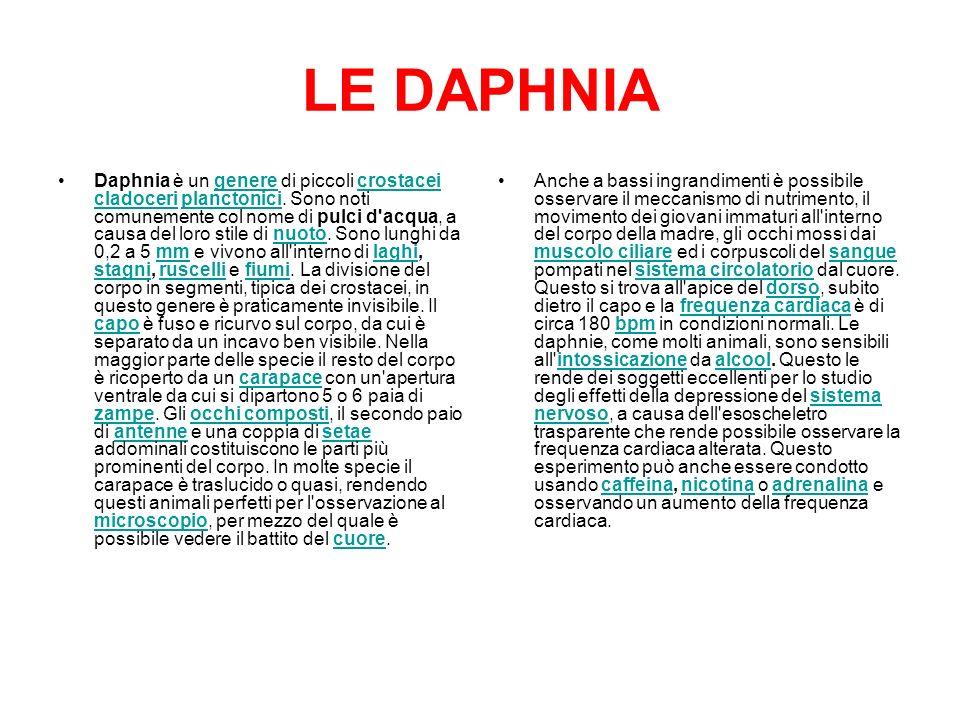 LE DAPHNIA Daphnia è un genere di piccoli crostacei cladoceri planctonici. Sono noti comunemente col nome di pulci d'acqua, a causa del loro stile di