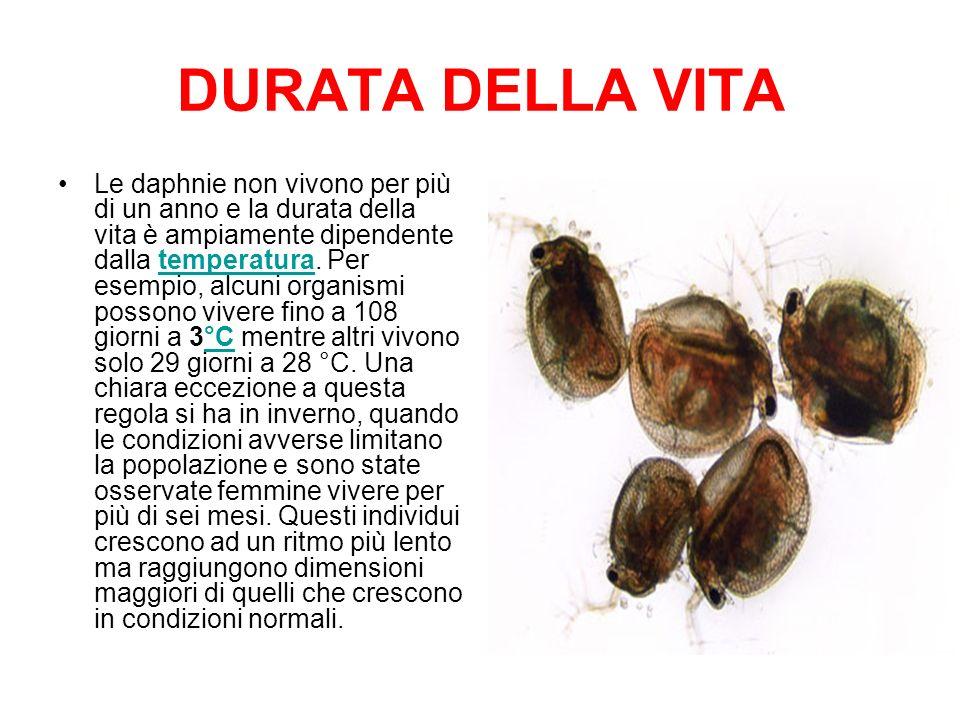DURATA DELLA VITA Le daphnie non vivono per più di un anno e la durata della vita è ampiamente dipendente dalla temperatura. Per esempio, alcuni organ