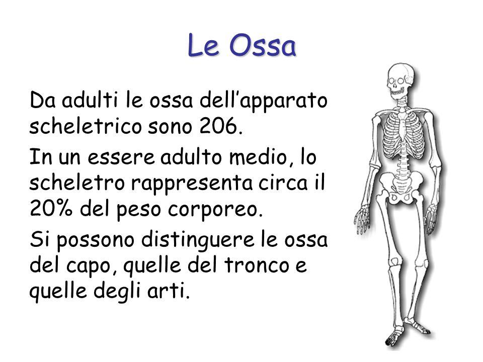 Da adulti le ossa dellapparato scheletrico sono 206. In un essere adulto medio, lo scheletro rappresenta circa il 20% del peso corporeo. Si possono di