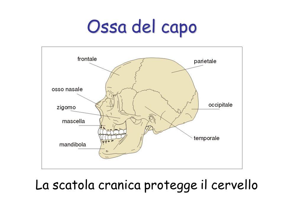 Ossa del capo La scatola cranica protegge il cervello