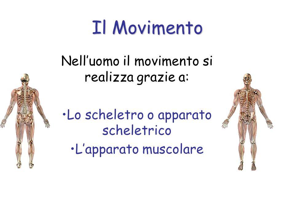 Il Movimento Nelluomo il movimento si realizza grazie a: Lo scheletro o apparato scheletrico Lapparato muscolare