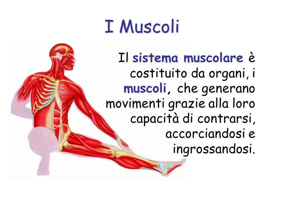Il sistema muscolare è costituito da organi, i muscoli, che generano movimenti grazie alla loro capacità di contrarsi, accorciandosi e ingrossandosi.