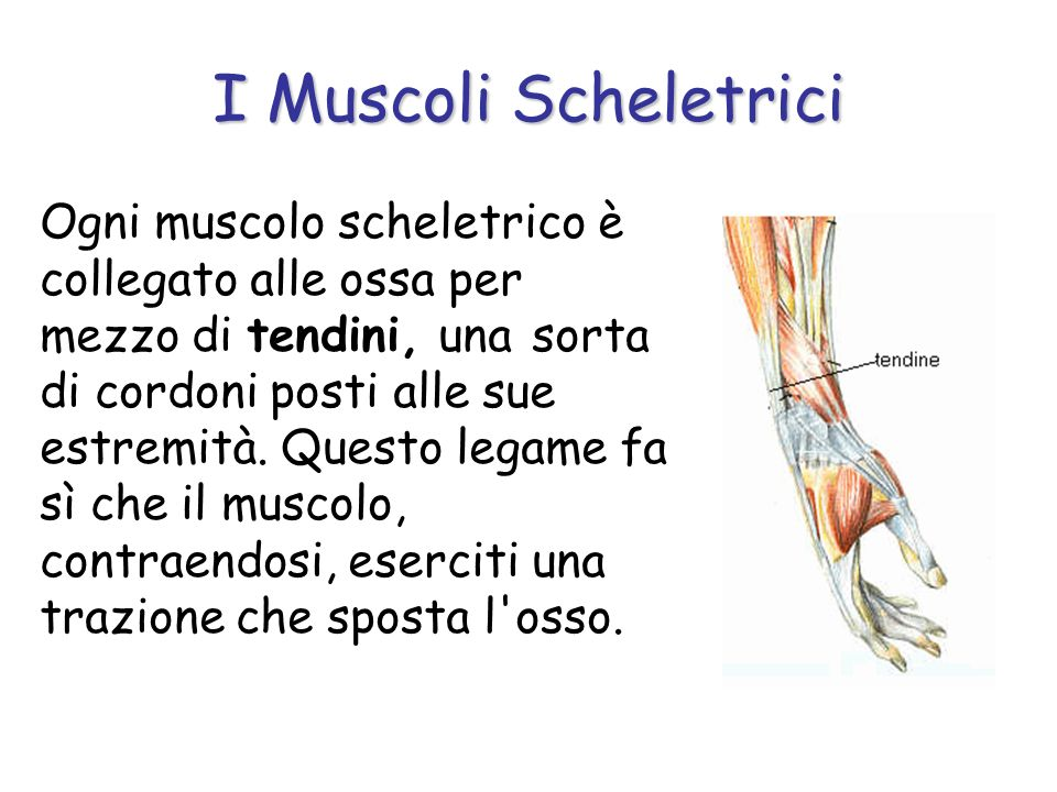 Ogni muscolo scheletrico è collegato alle ossa per mezzo di tendini, una sorta di cordoni posti alle sue estremità. Questo legame fa sì che il muscolo
