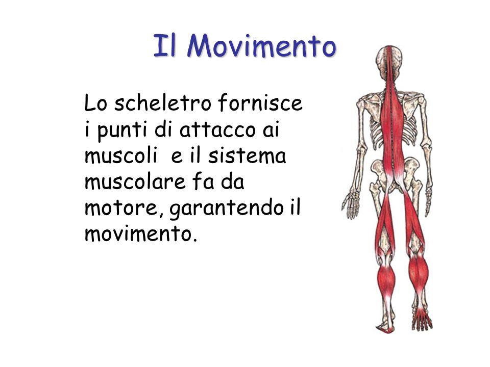 Lo scheletro fornisce i punti di attacco ai muscoli e il sistema muscolare fa da motore, garantendo il movimento.