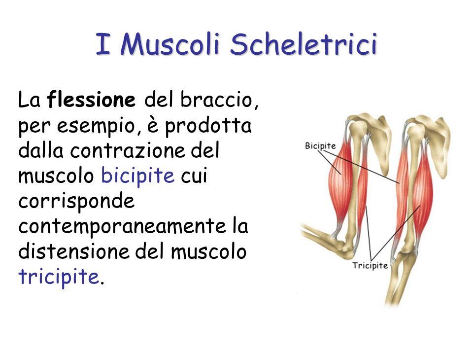 La flessione del braccio, per esempio, è prodotta dalla contrazione del muscolo bicipite cui corrisponde contemporaneamente la distensione del muscolo tricipite.