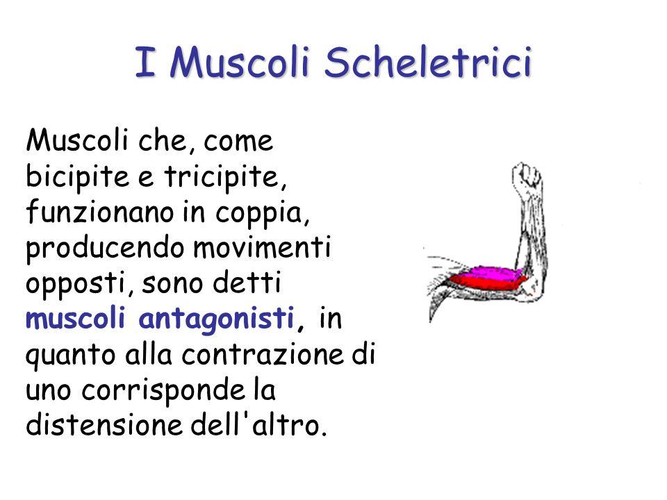 Muscoli che, come bicipite e tricipite, funzionano in coppia, producendo movimenti opposti, sono detti muscoli antagonisti, in quanto alla contrazione di uno corrisponde la distensione dell altro.
