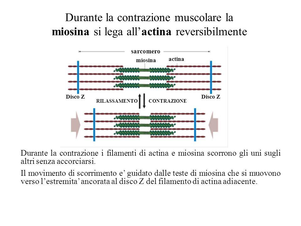 Durante la contrazione muscolare la miosina si lega allactina reversibilmente sarcomero Disco Z RILASSAMENTOCONTRAZIONE miosina actina Durante la contrazione i filamenti di actina e miosina scorrono gli uni sugli altri senza accorciarsi.