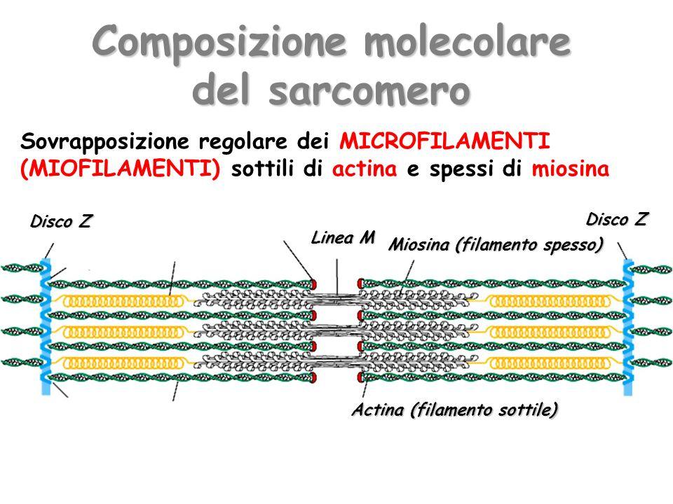 Composizione molecolare del sarcomero Miosina (filamento spesso) Actina (filamento sottile) Disco Z Linea M Disco Z Sovrapposizione regolare dei MICRO