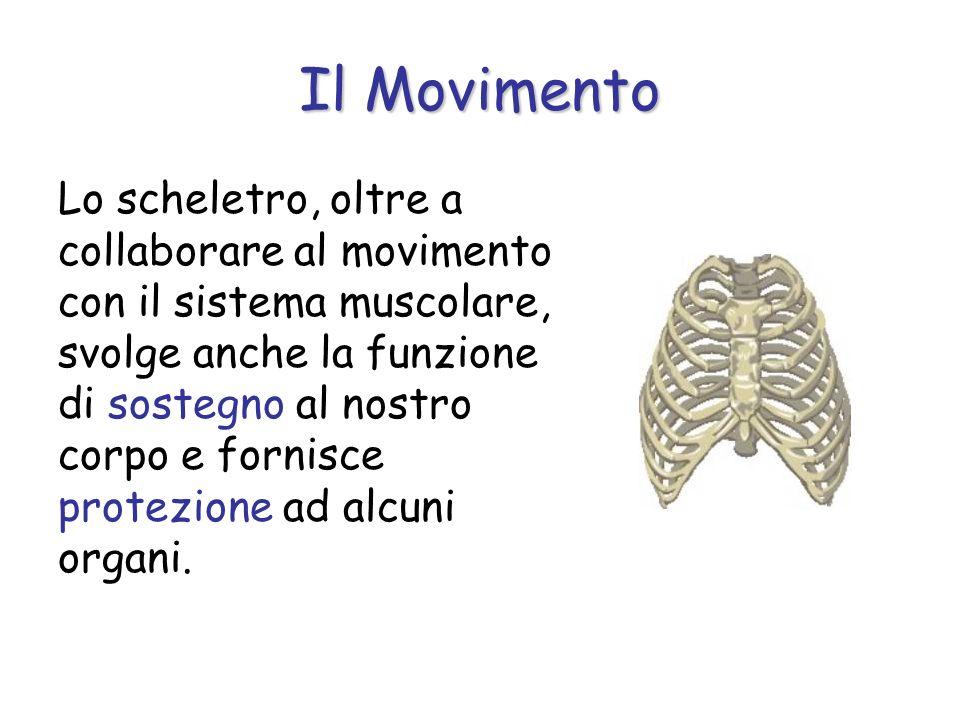 Lo scheletro, oltre a collaborare al movimento con il sistema muscolare, svolge anche la funzione di sostegno al nostro corpo e fornisce protezione ad alcuni organi.