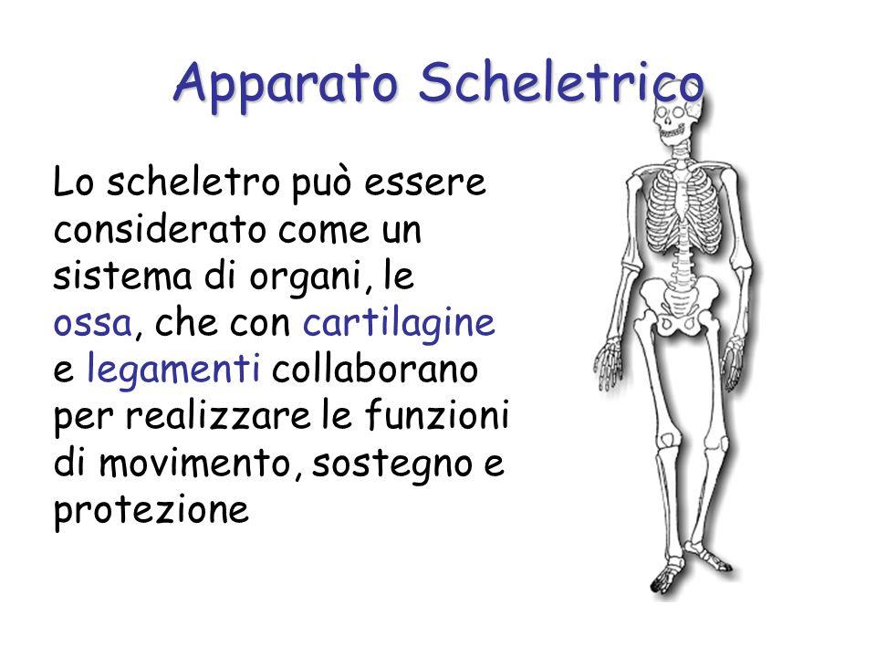 Lo scheletro può essere considerato come un sistema di organi, le ossa, che con cartilagine e legamenti collaborano per realizzare le funzioni di movimento, sostegno e protezione Apparato Scheletrico