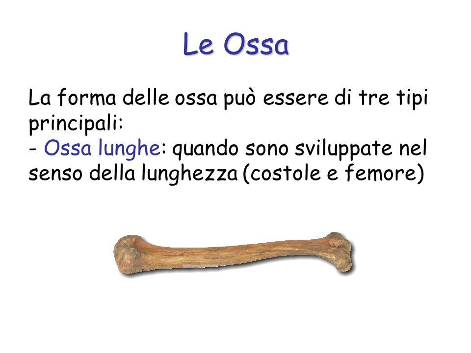 La forma delle ossa può essere di tre tipi principali: - Ossa lunghe: quando sono sviluppate nel senso della lunghezza (costole e femore) Le Ossa