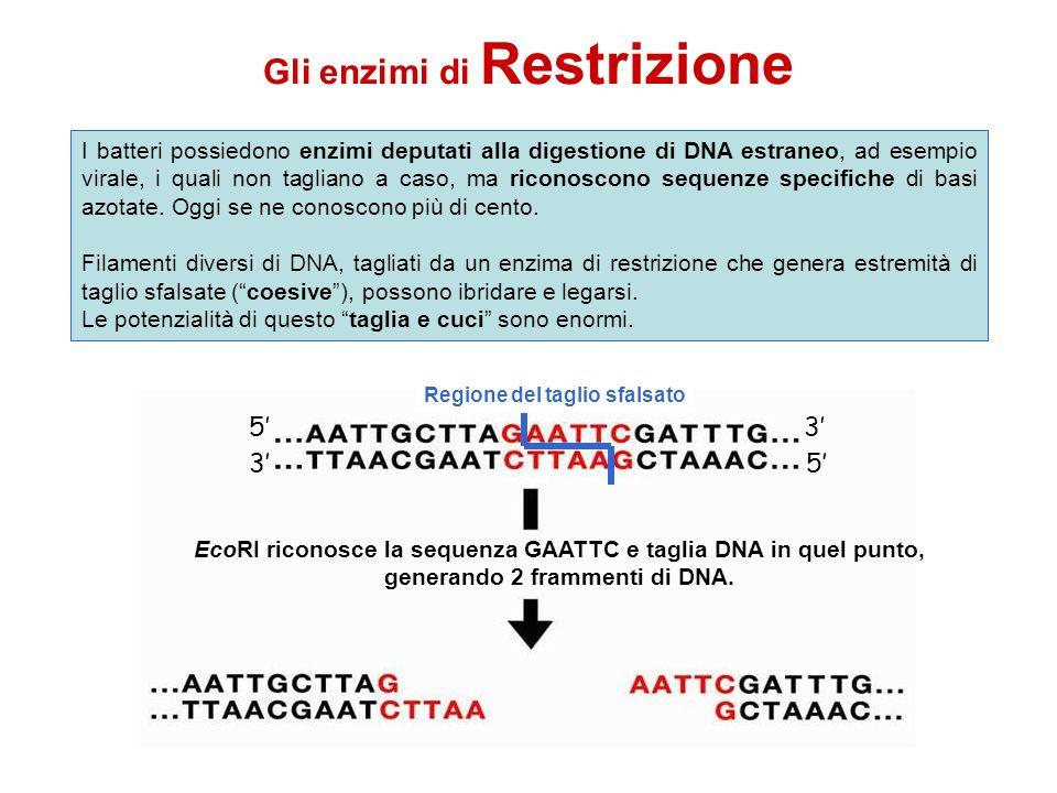 Gli enzimi di Restrizione EcoRI riconosce la sequenza GAATTC e taglia DNA in quel punto, generando 2 frammenti di DNA. 53 53 Regione di riconoscimento