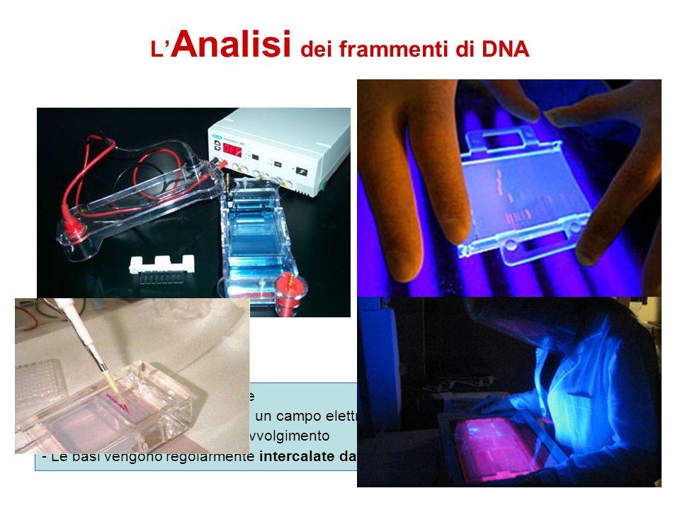 L Analisi dei frammenti di DNA - Il DNA è carico negativamente - Corso su un gel di agarosio in un campo elettrico si separa in base alla lunghezza de