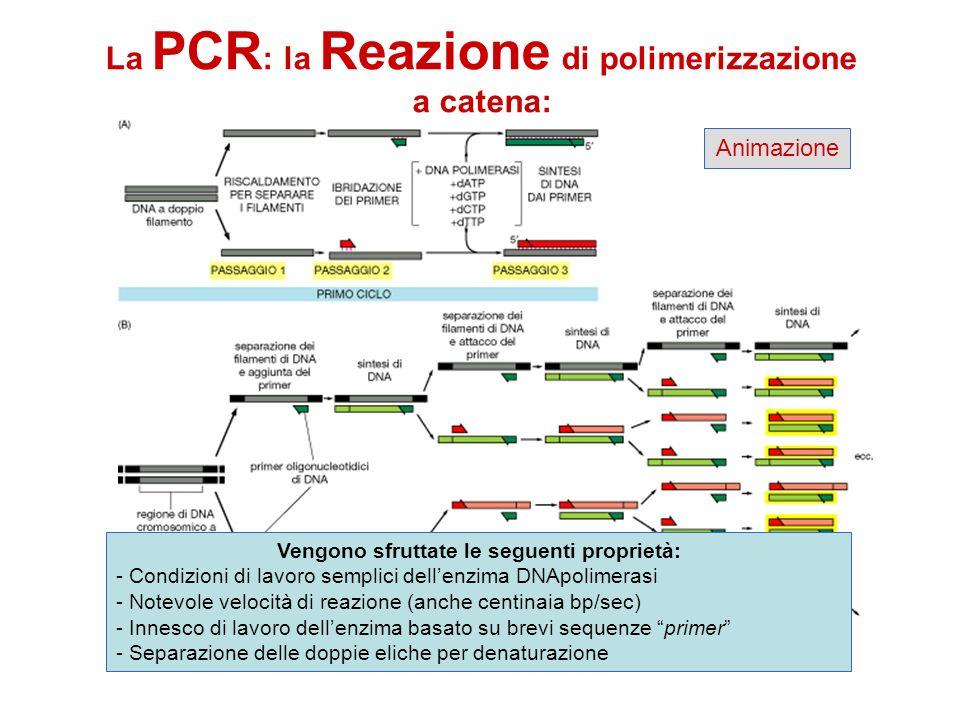 La PCR : la Reazione di polimerizzazione a catena: Animazione Vengono sfruttate le seguenti proprietà: - Condizioni di lavoro semplici dellenzima DNAp