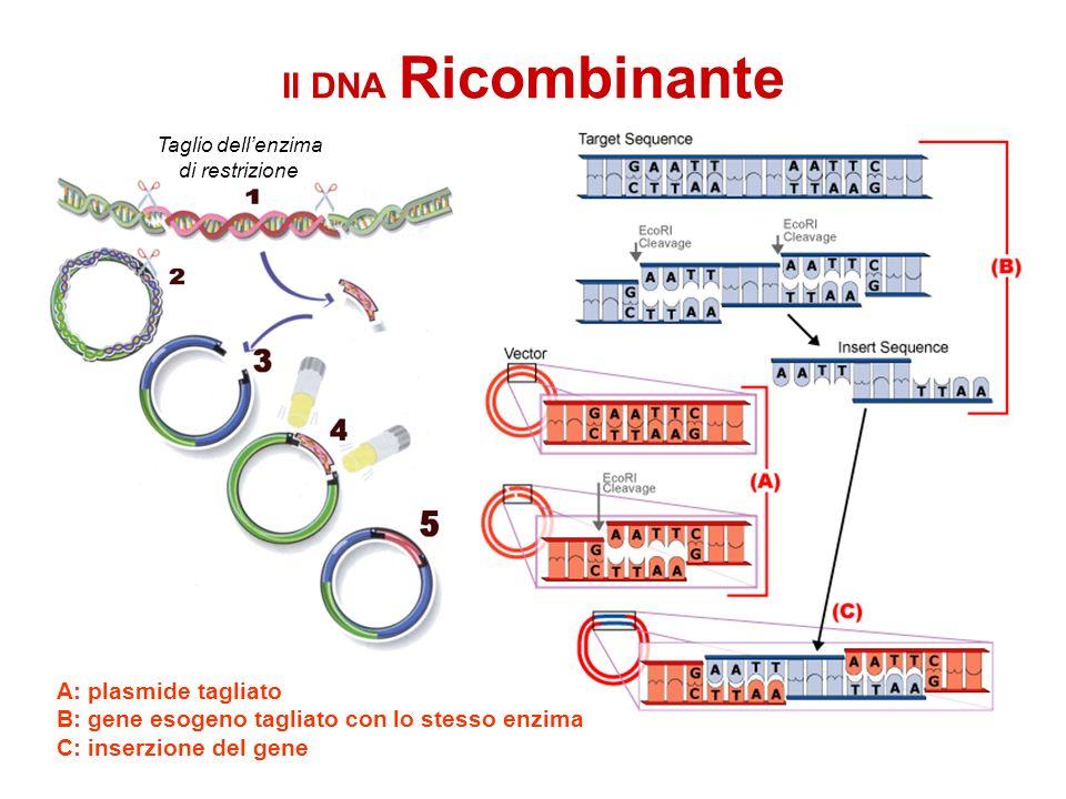 Il DNA Ricombinante A: plasmide tagliato B: gene esogeno tagliato con lo stesso enzima C: inserzione del gene Taglio dellenzima di restrizione
