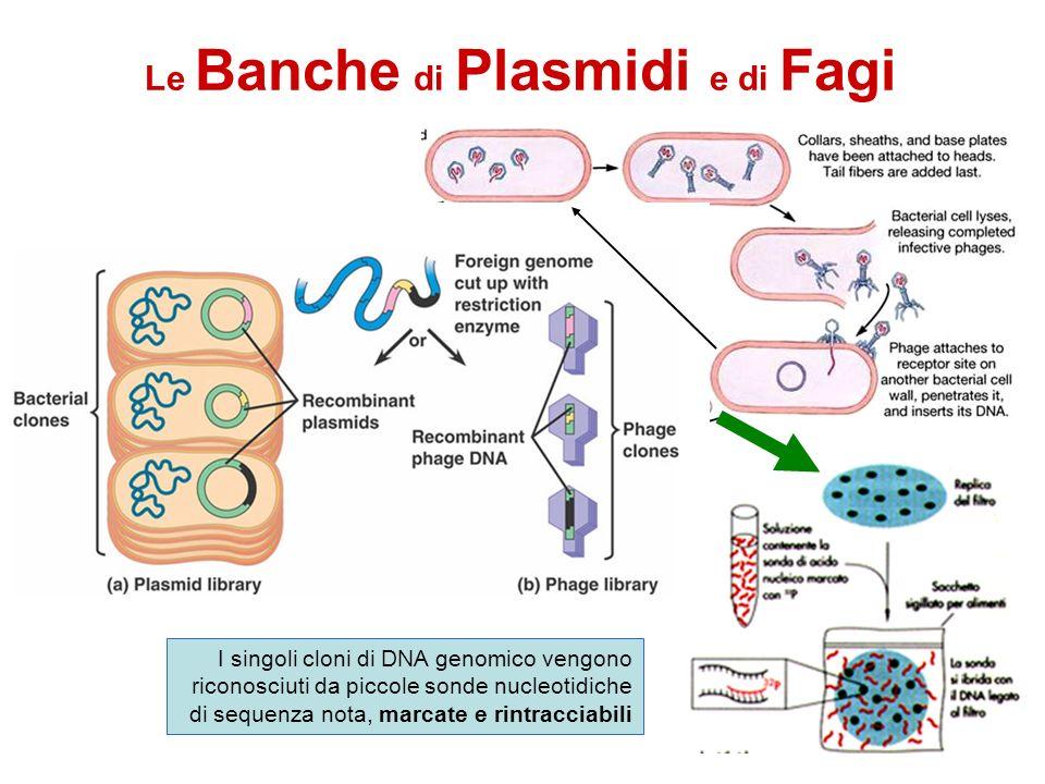 Le Banche di Plasmidi e di Fagi I singoli cloni di DNA genomico vengono riconosciuti da piccole sonde nucleotidiche di sequenza nota, marcate e rintra