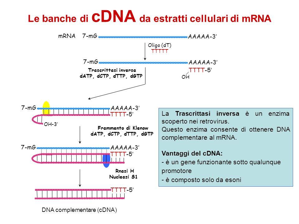 AAAAA-3 mRNA 7-mG Oligo (dT) TTTTT AAAAA-3 7-mG TTTT-5 OH Trascrittasi inversa dATP, dCTP, dTTP, dGTP AAAAA-3 7-mG TTTT-5 OH-3 AAAAA-3 7-mG TTTT-5 Fra