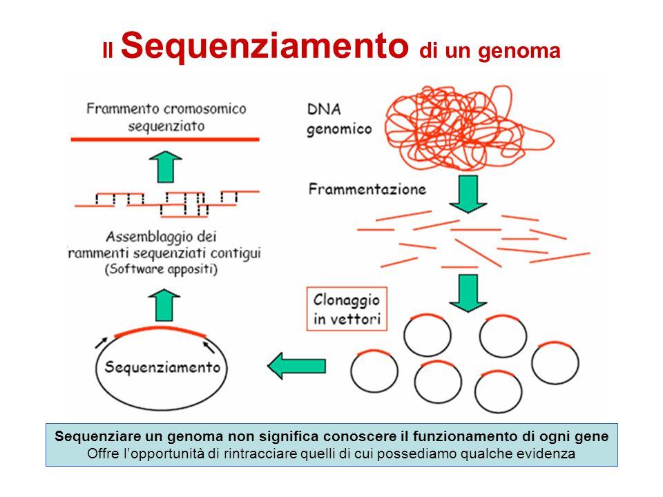Il Sequenziamento di un genoma Sequenziare un genoma non significa conoscere il funzionamento di ogni gene Offre lopportunità di rintracciare quelli d