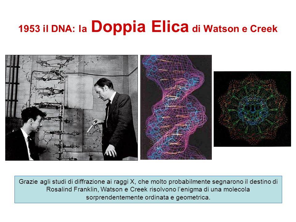 1953 il DNA: la Doppia Elica di Watson e Creek Grazie agli studi di diffrazione ai raggi X, che molto probabilmente segnarono il destino di Rosalind F