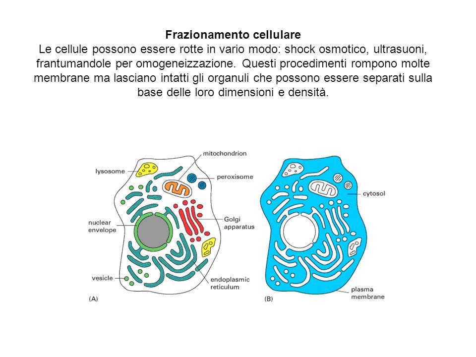 Frazionamento cellulare Le cellule possono essere rotte in vario modo: shock osmotico, ultrasuoni, frantumandole per omogeneizzazione. Questi procedim