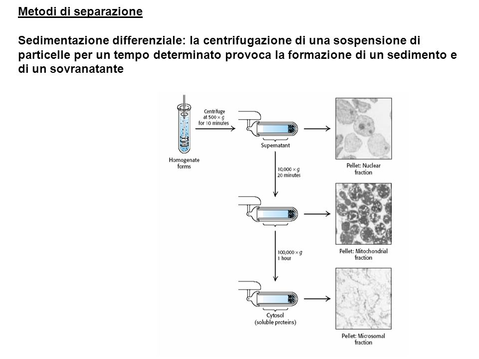 Metodi di separazione Sedimentazione differenziale: la centrifugazione di una sospensione di particelle per un tempo determinato provoca la formazione di un sedimento e di un sovranatante