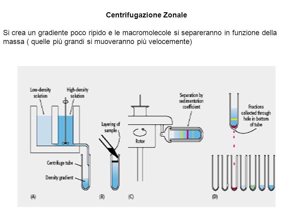 Centrifugazione Zonale Si crea un gradiente poco ripido e le macromolecole si separeranno in funzione della massa ( quelle più grandi si muoveranno più velocemente)