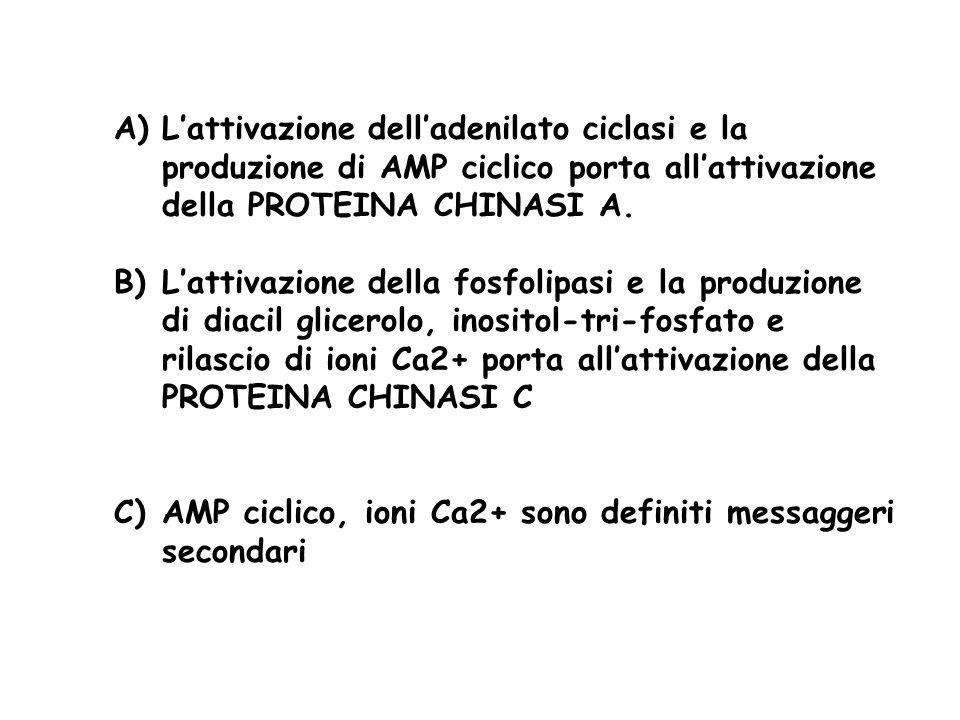 A)Lattivazione delladenilato ciclasi e la produzione di AMP ciclico porta allattivazione della PROTEINA CHINASI A. B)Lattivazione della fosfolipasi e